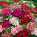 Hüsnü Yusuf Çiçeği Tohumu Ekim Seti Çiçek Tohumu + Saksı + Toprak